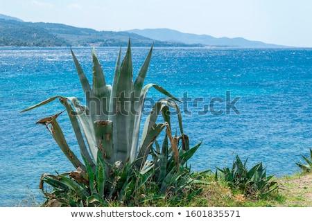 Agavé kaktusz mediterrán tenger part Spanyolország Stock fotó © lunamarina