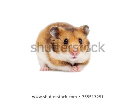 Hamster yalıtılmış beyaz odak göz Stok fotoğraf © alptraum