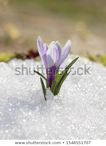 Geada inverno broto de manhã cedo jardim gelo Foto stock © suerob