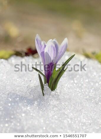 Frost on Winter Bud Stock photo © suerob