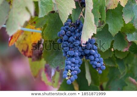 Douro Vineyards Stock photo © ajn