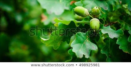Chêne feuille isolé blanche arbre bois Photo stock © Marfot