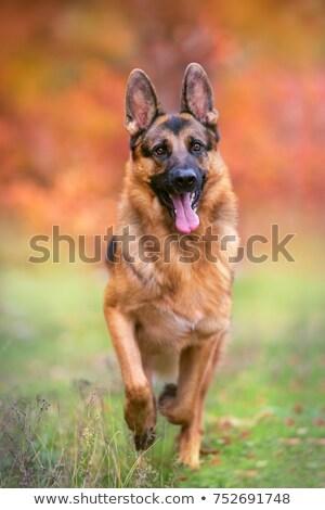 fut · fajtiszta · kutya · lövés · kívül · napos · nyár - stock fotó © bigandt
