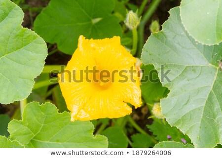 jaune · été · squash · croissant · Bush · usine - photo stock © vavlt