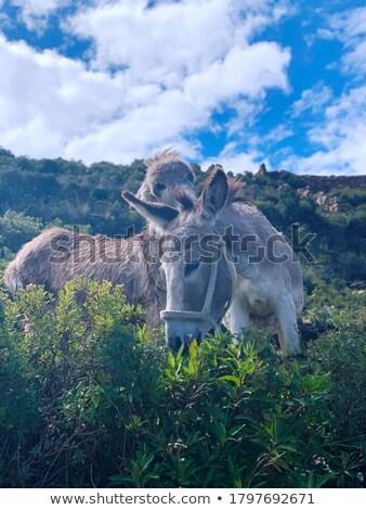 エルサレム ロバ 草原 農民 動物 ストックフォト © rhamm