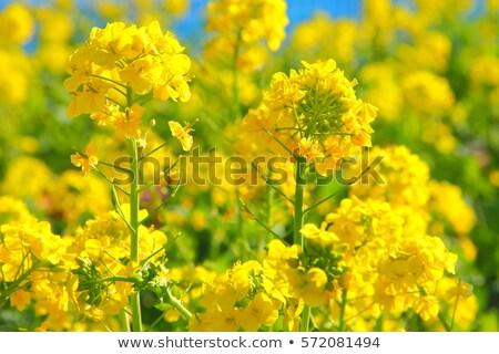 Healthy Canola Fields Stock photo © lovleah