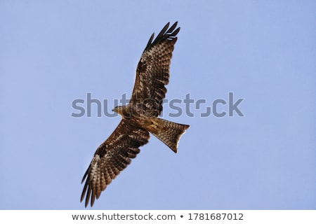 Fantastic brown hawk raptor Stock photo © chrisga