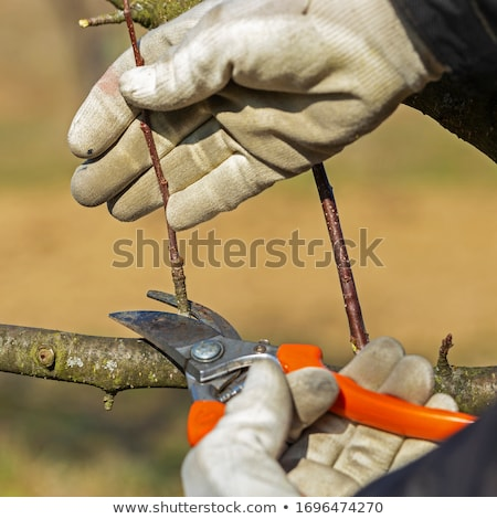 agriculture pruning in orchard stock photo © simazoran