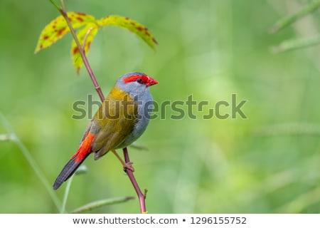 座って 茂み 島 クイーンズランド州 オーストラリア 鳥 ストックフォト © dirkr