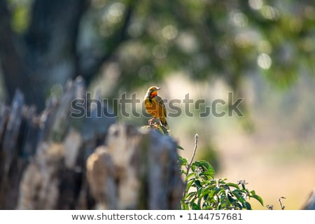 Cape longclaw (Macronyx capensis) Stock photo © dirkr