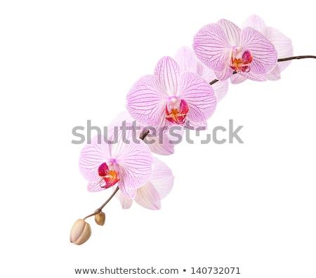 macro · shot · roze · orchidee · geïsoleerd · witte - stockfoto © dla4