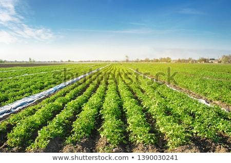 Csetepaté zöld krumpli növények megművelt zöldség Stock fotó © stevanovicigor