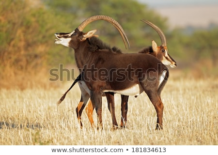 rare sable antelope stock photo © klinker