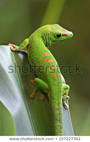 Kicsi zöld gekkó ül fém korlát Stock fotó © searagen
