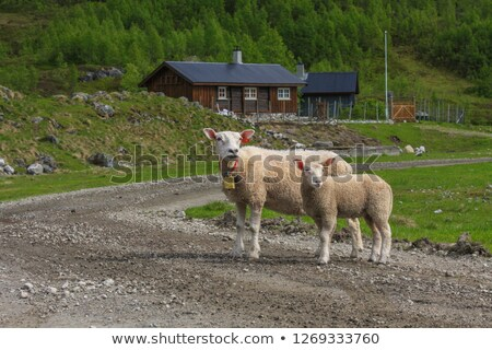 Сток-фото: White Mother Sheep And Lamb Standing On Road