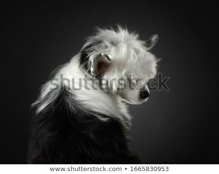 смешанный · черный · собака · портрет · темно - Сток-фото © vauvau