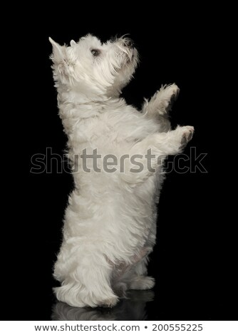 West Highland White Terrier standing in a black shiny studio flo Stock photo © vauvau