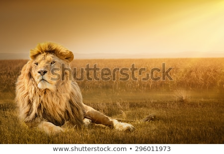 Stock photo: Male Lion resting in the grass.