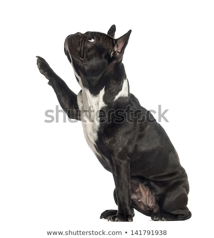 curious french bulldog looking to side Stock photo © feedough
