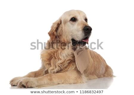 Nieuwsgierig bedelaar golden retriever kant papier Stockfoto © feedough