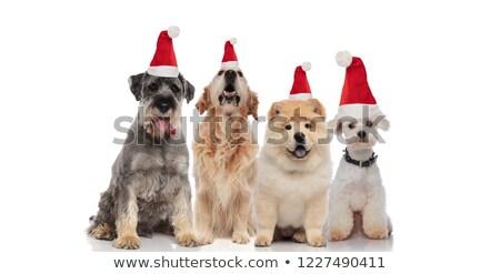 Csapat négy aranyos mikulás kutyák különböző Stock fotó © feedough