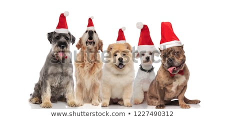 five lovely dogs of different breeds wering santa costumes Stock photo © feedough