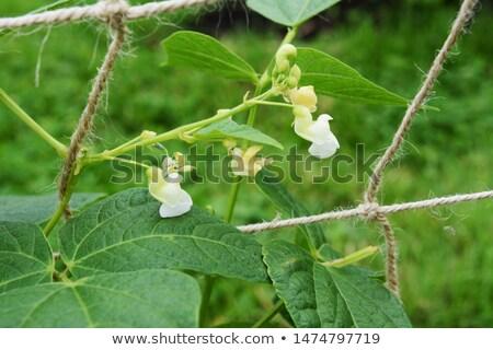 Stock photo: White flowers of a calypso bean plant