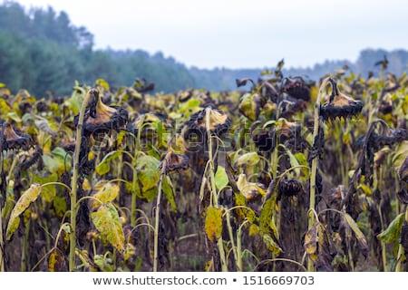 Vegyi napraforgók veszély gazdálkodás növény növekvő Stock fotó © romvo