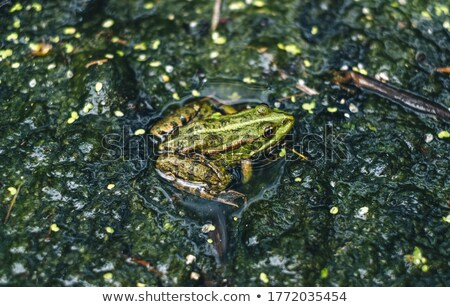 eyes of green liquid frog stock photo © sahua