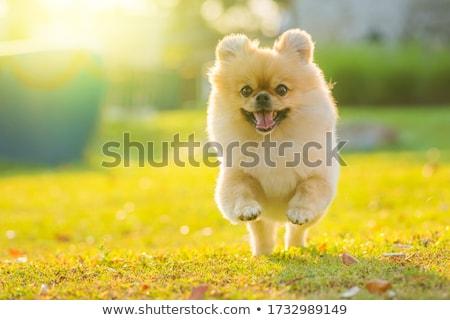 running little dog Stock photo © cynoclub