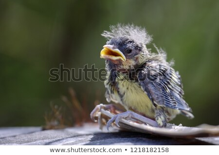 blue tit fledgling clinging stock photo © suerob