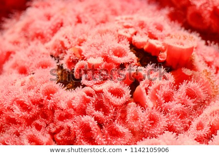 Red Corynactis Anemones Stock photo © Laracca