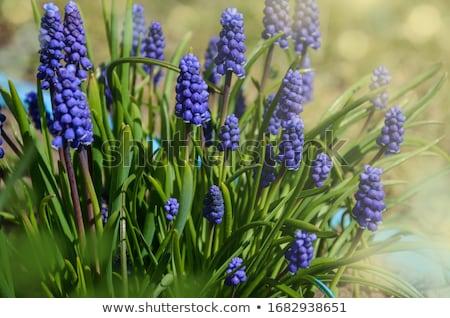 цветы · синий · серый · bokeh · Пасху · цветок - Сток-фото © ivonnewierink