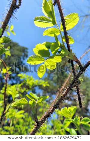 Young branch of dog-rose with green leafs Stock photo © boroda