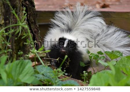 Baby skunks młodych czarny Zdjęcia stock © pictureguy