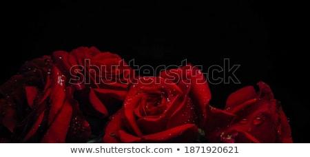 piros · rózsa · vízcseppek · fehér · fedett · nő · virág - stock fotó © gorgev