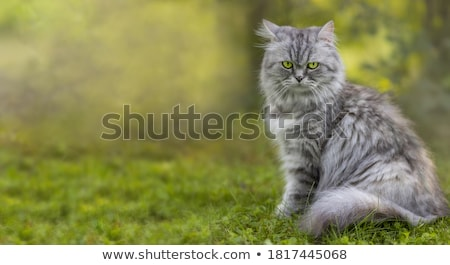 Stockfoto: Kat · portret · groene · gazon · oog · achtergrond