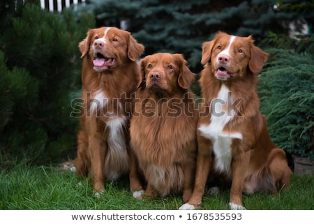 Nova Scotia Duck Tolling Retriever dog stock photo © eriklam
