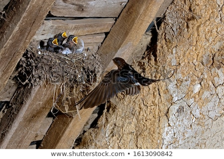 Barn Swallow (Hirundo rustica) Stock photo © dirkr