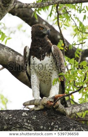 イーグル · 未熟 · 支店 · 南アフリカ · 空 · 鳥 - ストックフォト © ajn