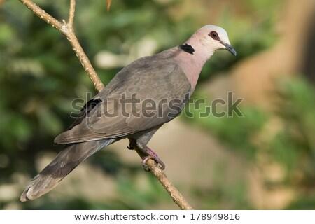 Pomba sessão arbusto pássaro animal pombo Foto stock © dirkr