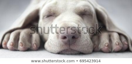Pata adormecido cão retriever ao ar livre laranja Foto stock © simply