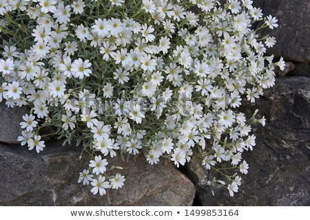 Cerastium Wildflower Stock photo © igabriela