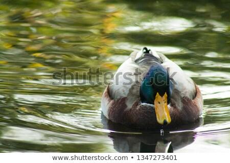 ördek yüzme su sarı gaga bahar Stok fotoğraf © compuinfoto