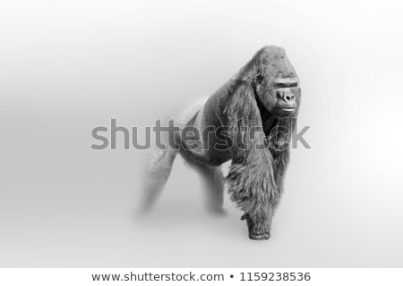 Black and white photo of a gorilla Stock photo © Sportactive