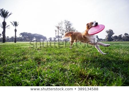 Kutya frizbi illusztráció naplemente sziluett vicces Stock fotó © adrenalina