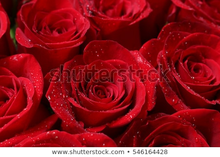 water drop on the beautiful red rose macro flower background photo stock photo © maxpro