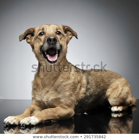 nice wired hair brown dog relaxing in gray background Stock photo © vauvau