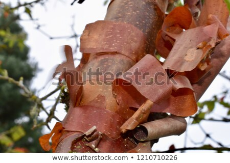 Bark detail of the Paperbark Maple tree, Acer griseum Stock photo © AlessandroZocc