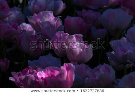Oscuro violeta tulipanes belleza tulipán primer plano Foto stock © zhekos